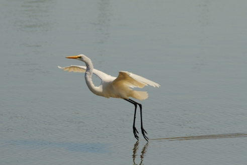 Great Egret 2AM-11388 small