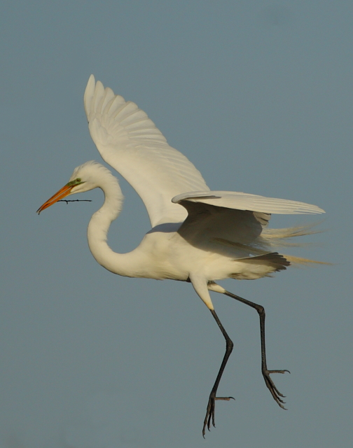 Great Egret 2AM-15814 small