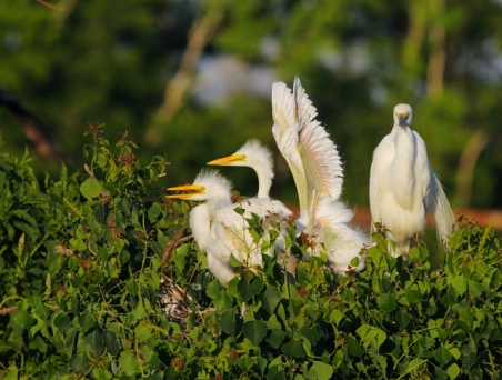 Great Egret 2AM-16285 small