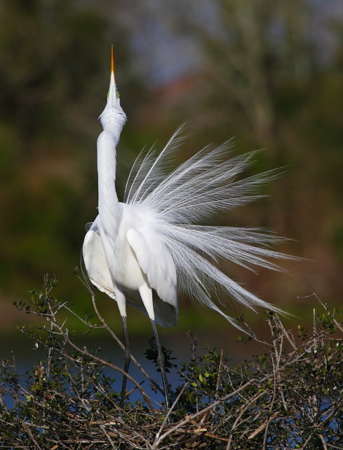 Great Egret 2AM-23518 small