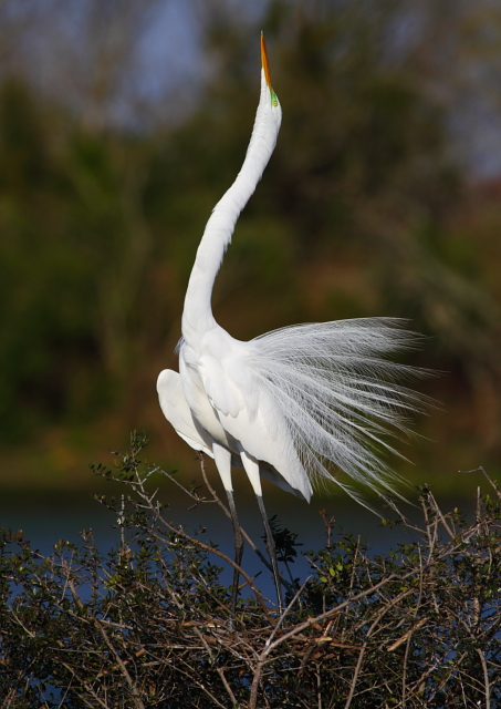 Great Egret 2AM-23525 small