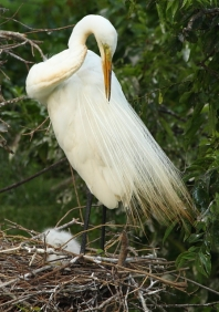 Great Egret 2AM-7793 small