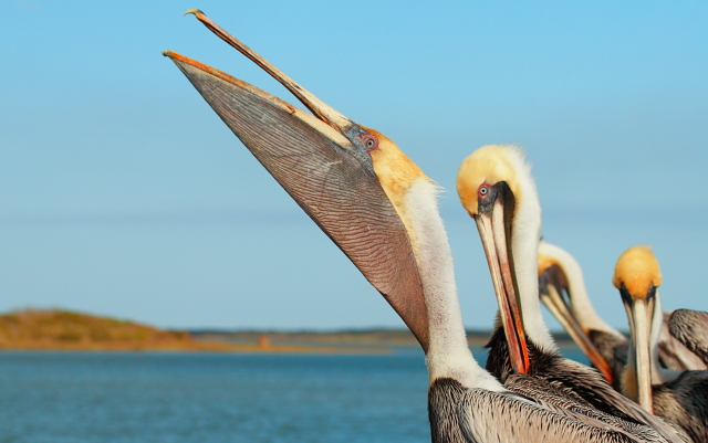 Brown Pelican 2AM-6026_blog