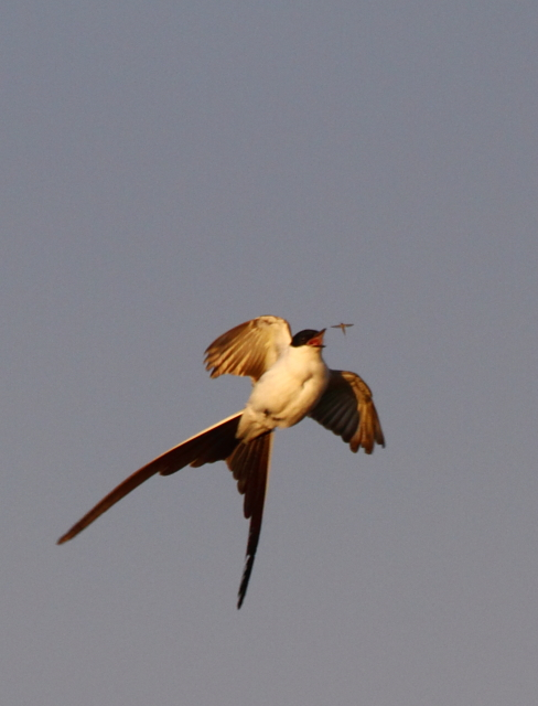 Fork-tailed Flycatcher 2AM-102489_blog