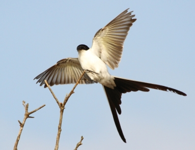 Fork-tailed Flycatcher 2AM-102622_blog