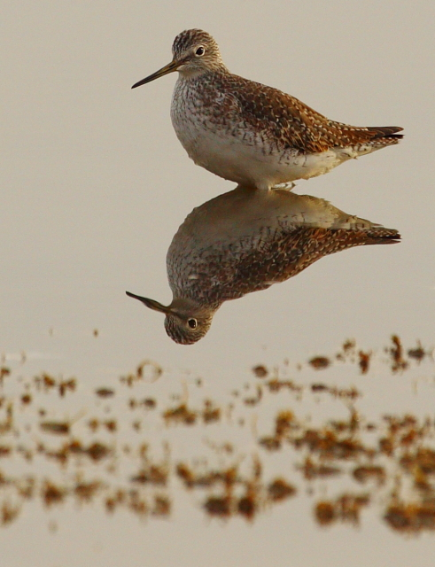 Greater Yellowlegs 2AM-13488_blog