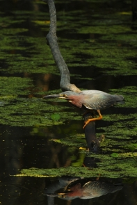 Green Heron 2AM-7848_blog