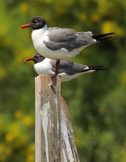 Laughing Gull 2AM-7476