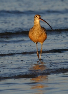 Long-billed Curlew 2AM-20616_blog
