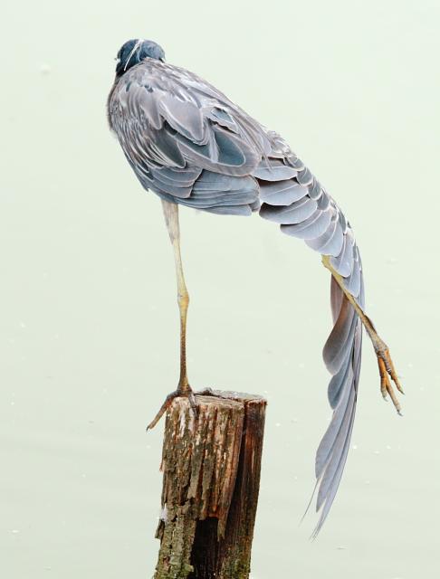 Yellow-crowned Night-Heron 2AM-19963_blog