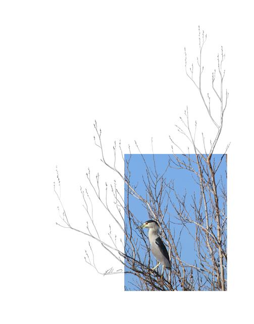 Black-crowned-Night-Heron-2AM-3870_FINAL