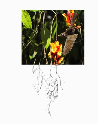 Bridled-Honeyeater-2AM-19465_FINAL