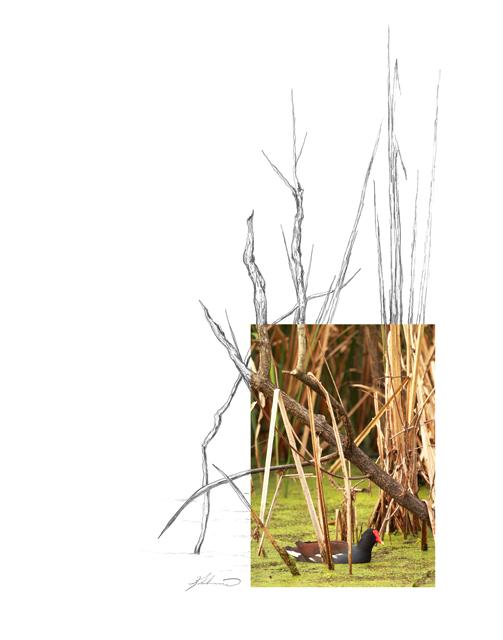 Common-Moorhen-2AM-4234_FINAL