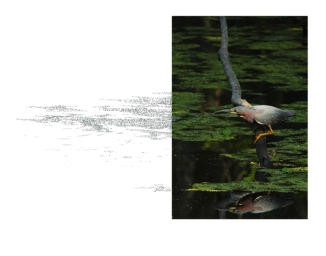 Green-Heron-2AM-7848_FINAL