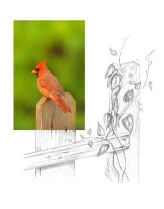 Northern-Cardinal-2AM-10073_FINAL