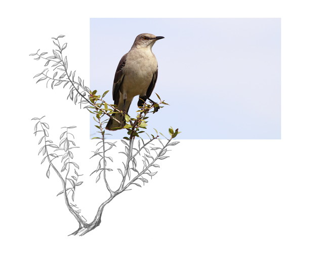 Northern-Mockingbird-2AM-5645_FINAL