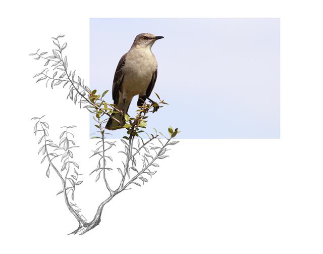 Northern-Mockingbird-2AM-5645_FINAL