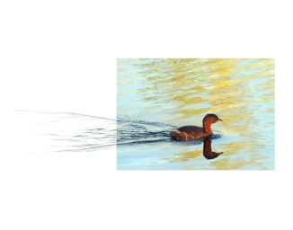 Pied-billed-Grebe-2AM-13179_FINAL