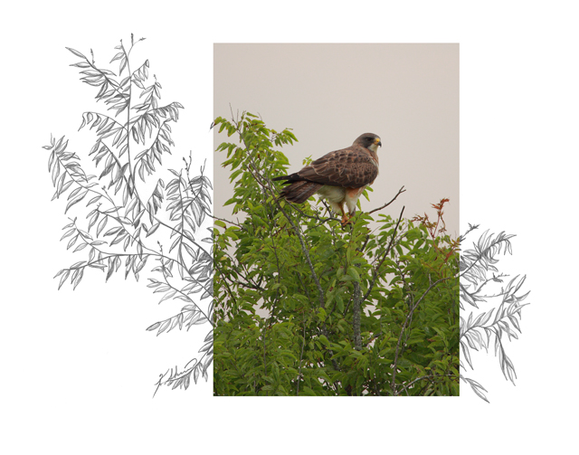 Red-tailed-Hawk-2AM-7746_FINAL