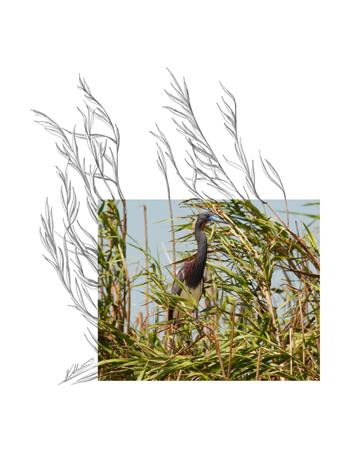 Tricolored-Heron-2AM-6839_FINAL