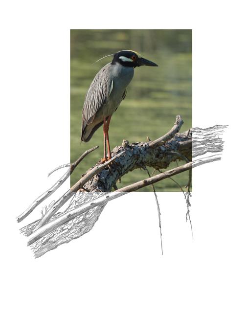 Yellow-crowned-Night-Heron-2AM-7818_FINAL