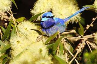 Splendid Fairy-wren 2AM-30032Canon 30D with Canon 100-400mm f/4.5-5.6L lens.© Andrew and Allison McInnes/2AM Photography. All rights reserved.