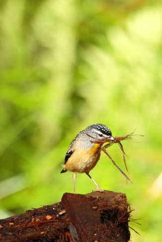 Spotted Pardalote 2AM-30289_30D
