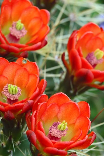 10_Claret-cup Cactus_Andrew McInnes-2AM-28736_30D_small
