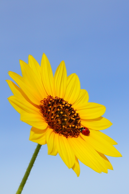 14_Sunflower and Ladybird Beetle_Andrew McInnes-2AM-110488_small