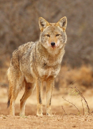 20_Coyote_Andrew McInnes-2AM-14844_small