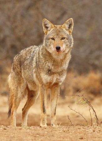 20_Coyote_Andrew McInnes-2AM-14844_small