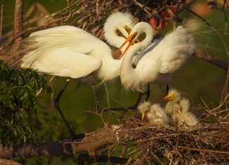 5_Great Egret Family_Andrew McInnes-2AM-7177_small