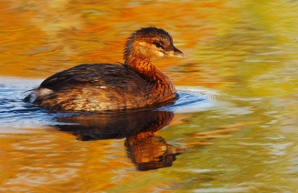 8_Pied-billed Grebe_Andrew McInnes-2AM-13193_small