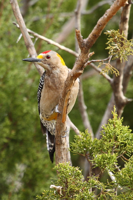 Golden-fronted Woodpecker 2AM-30656_30D_blog