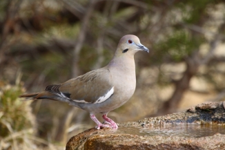 White-winged Dove 2AM-30604_30D_blog