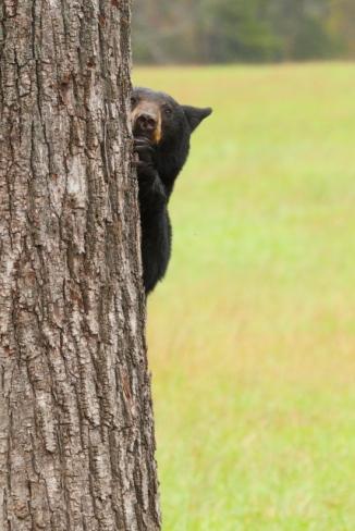 American Black Bear_2AM-000210