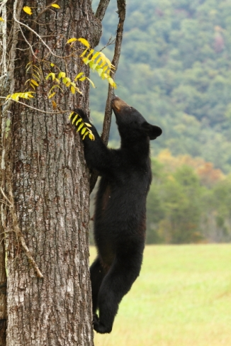 American Black Bear_2AM-000214
