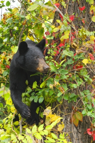 American Black Bear_2AM-000371