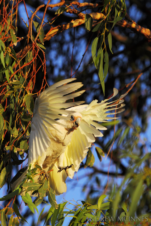 Little-Corella-2AM-004182-EOS-7D