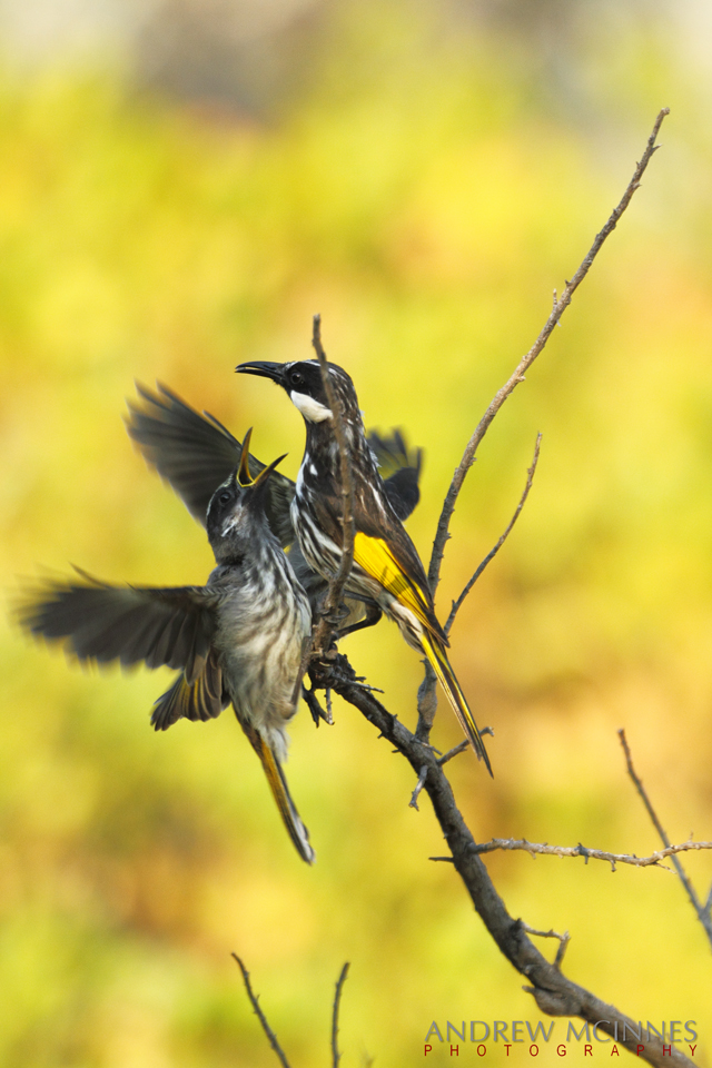 White-cheeked-Honeyeater-2AM-002411-7D