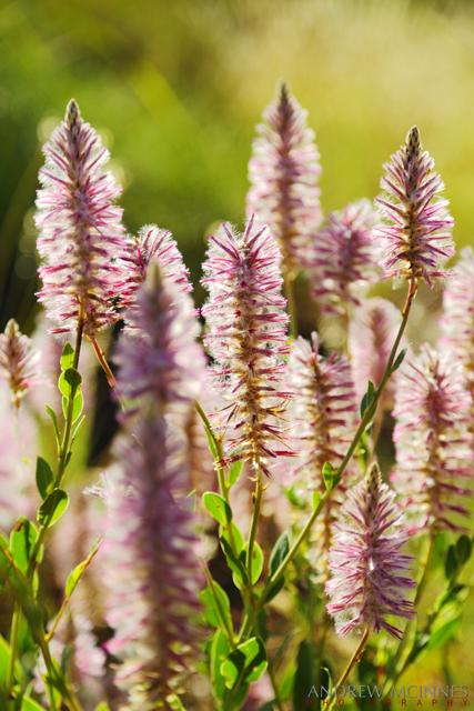 Mulla-Mulla-Flowers-2AM-002861