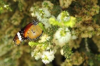 Plain-Tiger-butterfly-2AM-002222---Copy