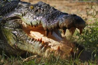 Saltwater-Crocodile-2AM-004748---Copy