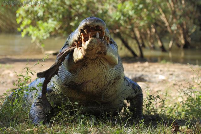 Saltwater-Crocodile-2AM-004757