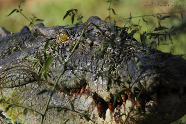 Saltwater-Crocodile-2AM-004771