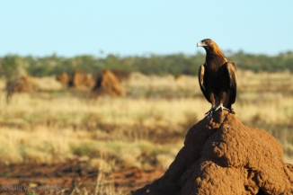 Wedge-tailed-Eagle-2AM-004698
