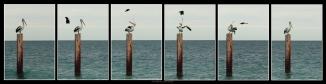 Australian Pelican 2AM 007525-007530 hexaptych