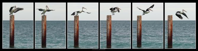 Australian Pelican hexaptych #2. Copyright 2014 Andrew McInnes.