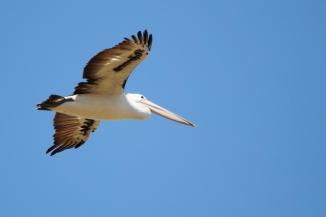 Australian Pelican 2AM-001241