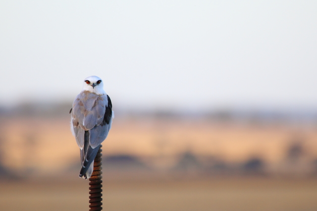 Black-shouldered Kite 2AM-001305